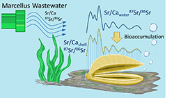 illustration of fracking bioaccumulation in mussels